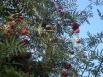 Красная рябина привлекает птиц