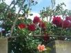 Крымские розы