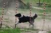 Каждая команда собаки и хэндлера имела одну попытку пройти полосу успешно.