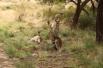 Кенгуру в национальном парке