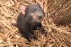Тасманский дьявол в East Coast Natureworld