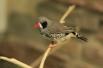 Амадины - одни из самых певучих комнатных птиц