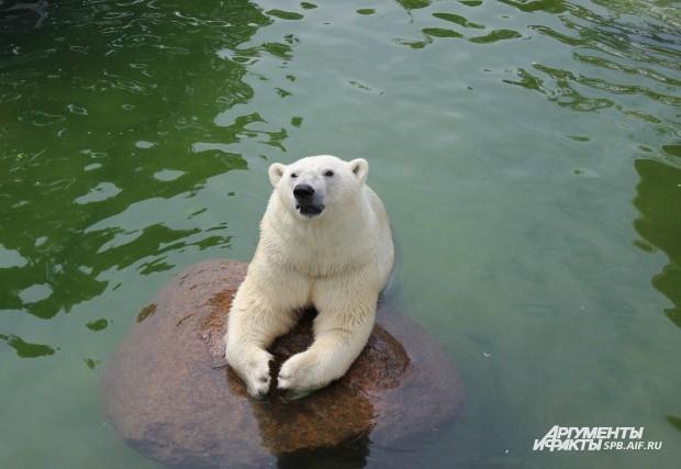 Белый медведь Меншиков
