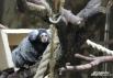 Игрунка (самая маленькая в мире обезьяна)