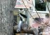 Краснохвостая мартышка