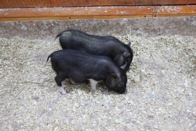 Мини-пиги - самые дружелюбные животные зоопарка