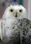 Это полярная сова Ася.