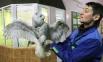 В зоопарке оказалась в период новогодних праздников. Раненой птице здесь помогли, окружили заботой и вниманием.