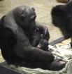Детеныш шимпанзе родился 5 декабря. Назвали малыша Дашей в честь сотрудницы зоопарка, день рождения которой пришелся на эту дату.