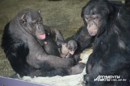 В декабре 2012 года шимпанзе Даше исполнился один годик. Как отмечают зоологи, Даша растет веселым и любознательным ребенком. В основном воспитанием Даши занимается мама – шимпанзе Сони. Папа, шимпанзе Бонни, гордится своей малышкой. Он относится к ней та