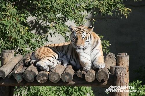 Челябинский зоопарк участвует в международных программах по сохранению исчезающих видов животных: «Программа по сохранению амурского тигра», «Программа по сохранению дальневосточного леопарда». Полученное потомство диких кошек передается в зоопарки России