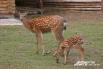 В августе 2010 года в зоопарке появились пятнистые олени. Длина тела этого животного составляет 160–180 сантиметров, высота в холке – 95-112 сантиметров, вес – 75-130 килограммов. Летом олень красно-рыжий с белыми пятнами, зимой окрас тускнеет. Пятнистые