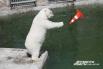 В конце мая белые медведи начинают свой купальный сезон. К этому времени работники челябинского зоопарка готовят для мишек специальные игрушки: пластмассовые конусы, мячи для игры в пляжный волейбол, садовые бочки, которые звери крутят лапами. В настоящее
