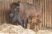 Внешне бизон очень похож на зубра, но массивнее из-за еще более низко посаженной головы и особенно густых и длинных волос, покрывающих голову, шею, плечи, горб и частично передние ноги. Масса этих животных доходит до 1000 килограммов, а высота в холке до