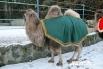 Участник кастинга верблюд по кличке Вася