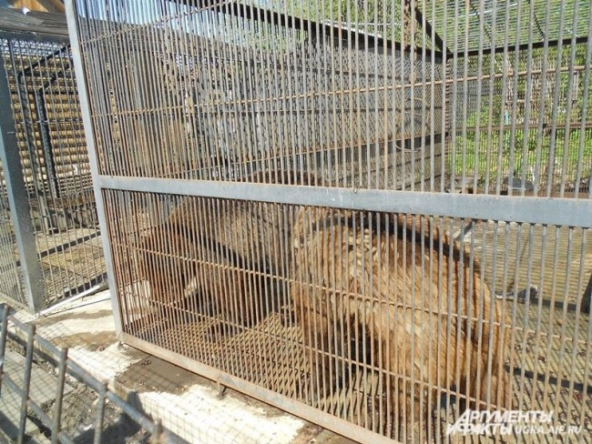 Еще два обитателя Шапшинского урочища – медведи Тихон и Еремей.