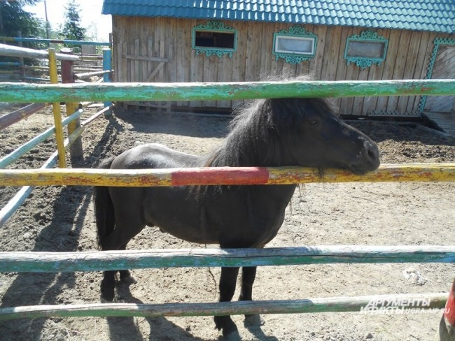 Помимо медведей, в Шапше живет пони шетлендской породы – Филиппок.