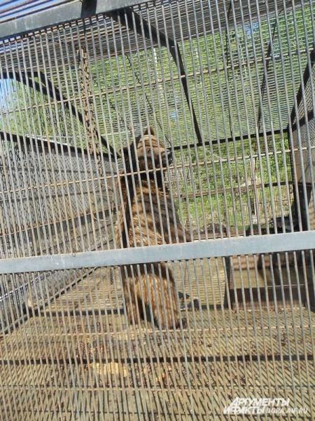 Тогда браконьеры убили медведицу в лесах Нижневартовска. Одного из сирот-медвежат и приютили в Шапше.