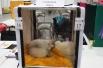 Священная бирма – это порода кошек, отличающаяся светлым окрасом шерсти и наличием белых «перчаток» и «носочков» на лапках. Цвет глаз у таких кошек пронзительно-голубой. На выставке кошки изрядно утомились и также решили вздремнуть.