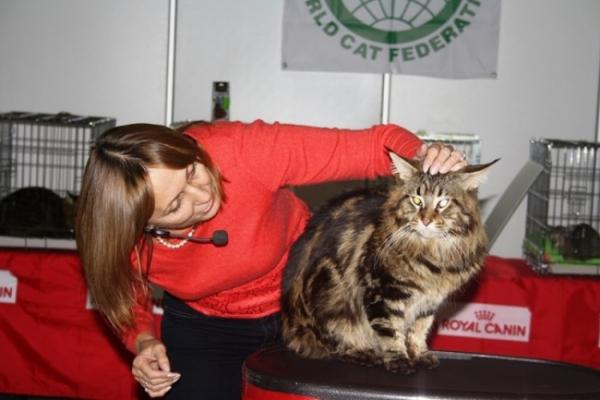 Среди домашних кошек порода мейн-кун является одной из самых крупных в мире. Вес крупного самца может достигать 12 кг.
