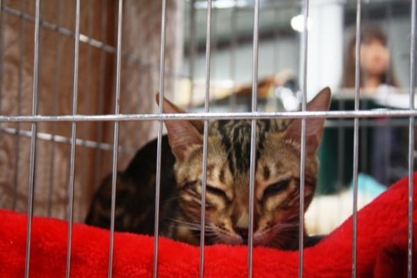 Некоторые питомцы еле держались, чтобы не заснуть. Два дня просидеть в клетке – непростая задача. Так и этот бенгальский кот наблюдает за происходящим утомленным взглядом.