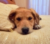 Самая маленькая среди своих сестер собачка Дюймовочка очень хочет найти дом. Ей 5 месяцев, вырастет некрупной собачкой (40-50 см в холке). У нее гладкая, но мягкая светлая шерстка. Дюймовочка - очень трогательная и нежная, любит играться, как и все щенки,