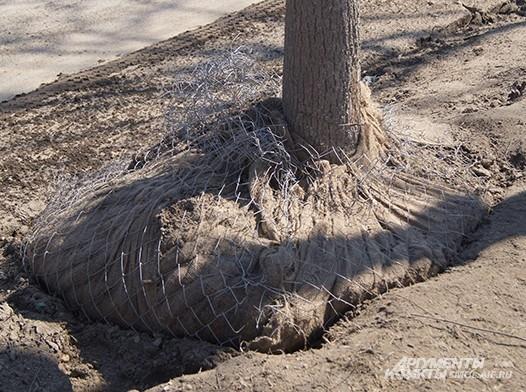 Деревья готовятся для пересадки