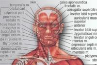 Мышечный скелет из учебника анатомии.