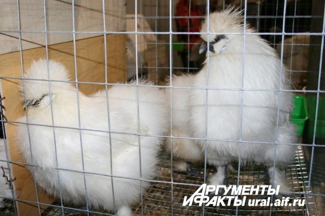 10.Посетители выставки шутили: «Эти красавцы – нечто среднее между курицей и кроликом».