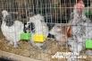 Петухи и куры со всей России приехали в столицу Среднего Урала