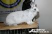 Пока одни кролики соревновались, другие просто демонстрировали свою красоту