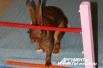 2.Кролик породы Бельгийский заяц по кличке Зверюга отличился особой сообразительностью. На втором этапе забега он попросту вышиб носом средние планки препятствия и проскакал в образовавшуюся брешь.