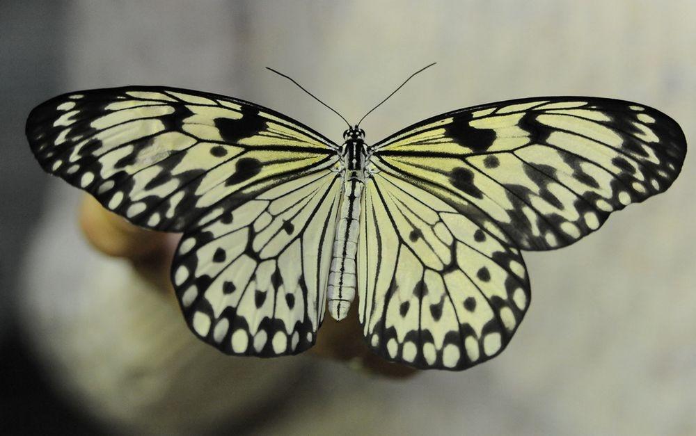 Бабочки - существа гармоничные