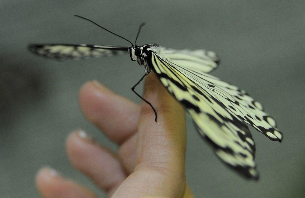 Бабочки доверчивы