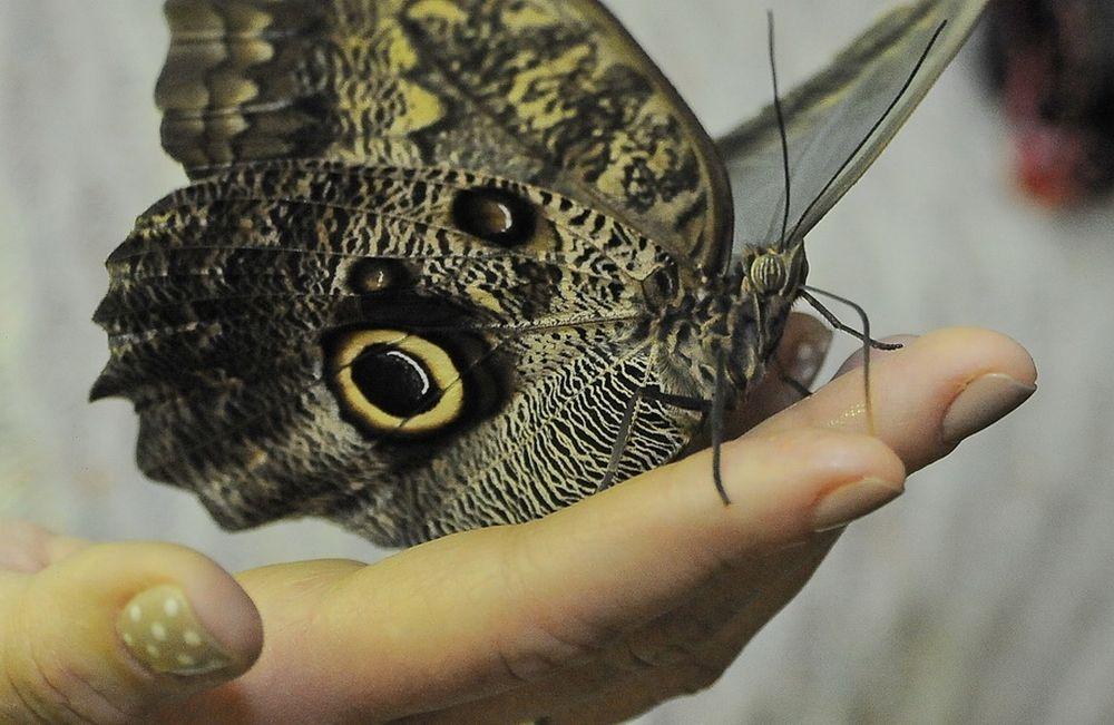 Продолжительность жизни бабочек коротка