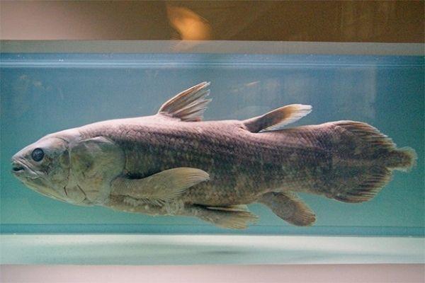 Латимерии – единственный современный род кистепёрых рыб. Существуют два вида латимерий – один обитает у восточного и южного побережья Африки, а второй был впервые описан лишь в 1997-1999 гг. возле острова Сулавеси в Индонезии.