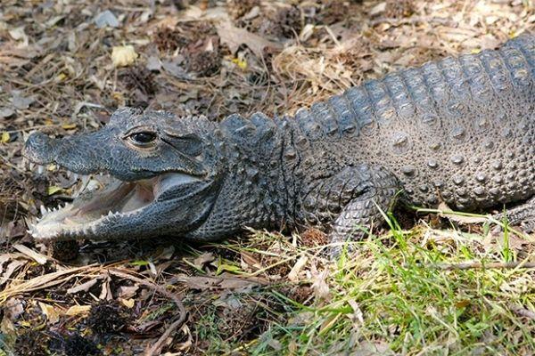 Древнейшим из сохранившихся до наших дней крупным хищником является крокодил, единственный выживший видм круротарзов. Считается, что крокодилы появились на Земле приблизительно 250 миллионов лет назад.