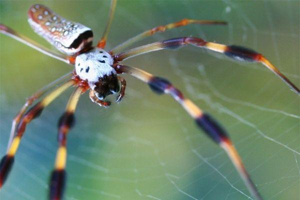 Паук Nephila считается старейшим на планете – учёные полагают, что этот род зародился около 165 миллионов лет назад. Кроме того, он является самым большим плетущим паутины пауком. Они обитают в Австралии, Азии, Африке, Америке и на острове Мадагаскар.