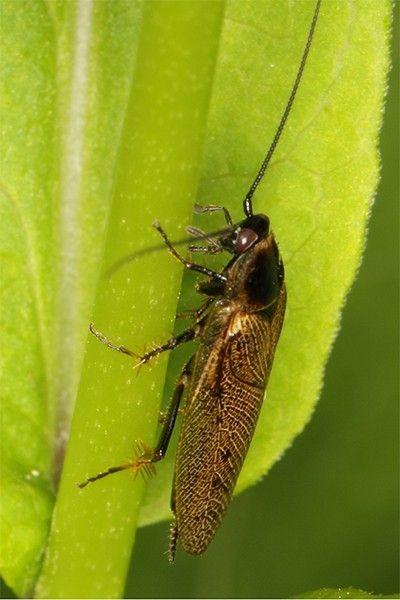 Тараканы появились на нашей планете около 320 миллионов лет назад и с тех пор активно распространялись – на настоящий момент учёным известно более 200 родов и 4500 видов.
