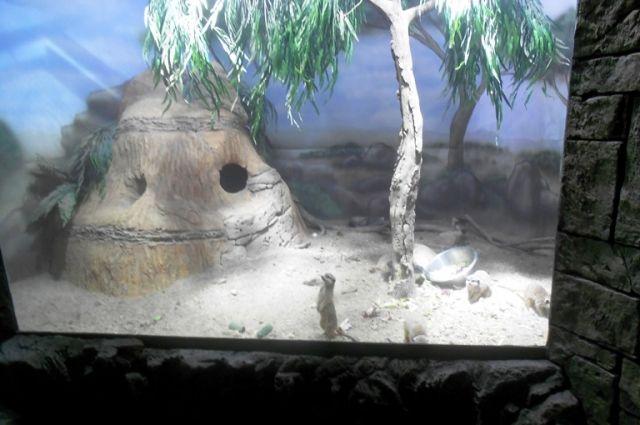 В следующем вольере живут сурикаты. Эти животные распространены вЮжной Африке, в основном, в районе пустыниКалахари. Они быстро привыкли к новому жилищу и не боятся посетителей. Большую часть дня сурикаты проводят стоя на задних лапках.