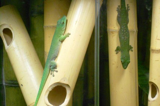 В другом вольере живут красочные ящерицы гекконы. Они тоже неплохо освоились на новом месте. Помимо этих ярких ящериц в вольерах содержатся хамелеоны, полозы, пауки и жабы.