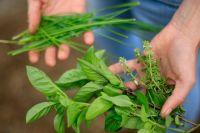 Лекарственные растения душица обыкновенная