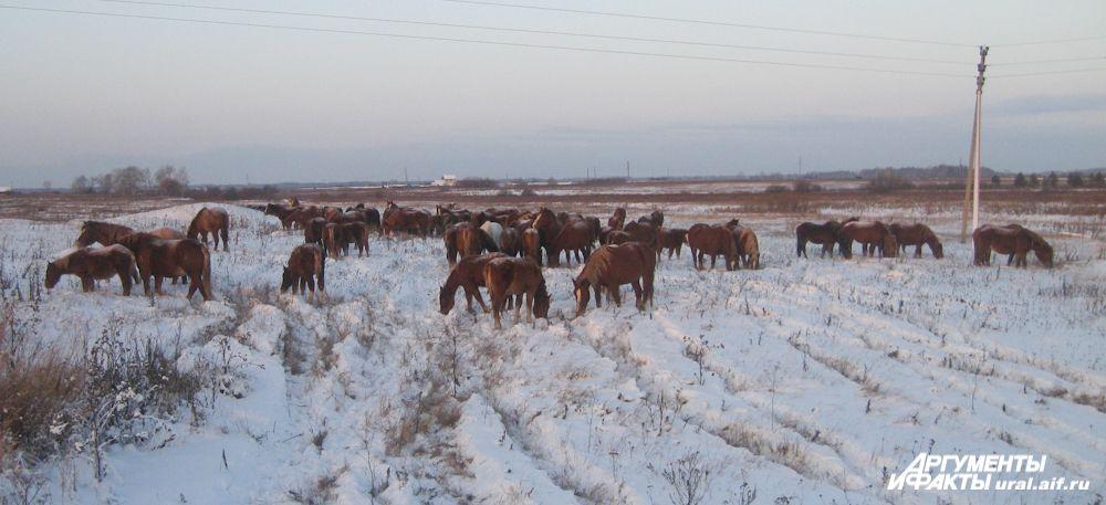 Сегодня в хозяйстве «Артемовский» 250 лошадей, а через пару лет их число вырастет до тысячи