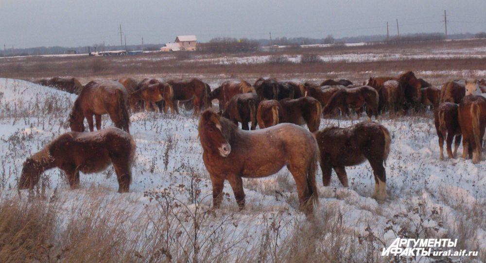 Уральские лошадки способны выдерживать любые температуры. Помещения для их содержания не требуется
