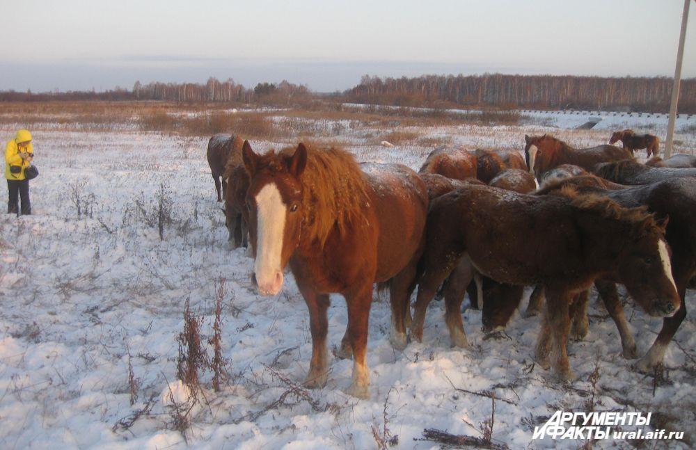 Белая полоса на морде – один из признаков русского тяжеловоза