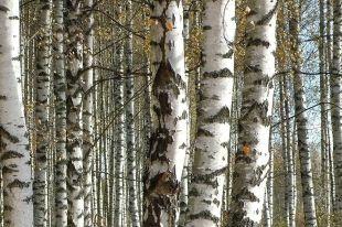 На Южном Урале незаконно вырубили деревья ради строительства автозаправки
