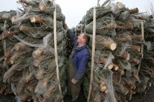 Под Новый год «черные» лесорубы начали вырубать ели в Челябинской области