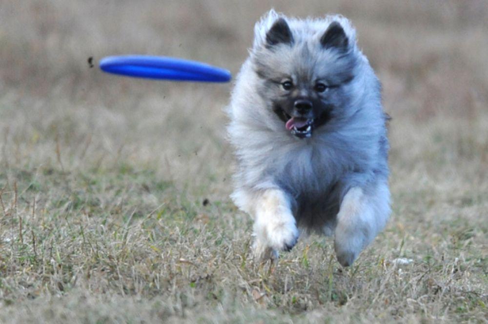 В Челябинске в конце октября состоялись соревнования «Жемчужина Урала-2013» по дог-фризби. Собакам и их хозяевом нужно было проявить недюжинную скоординированность и взаимопонимания для достижения максимальных результатов.