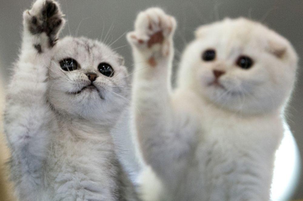 Большой популярностью на выставке «Гран-при Royal Canin» также пользовались британские котята, но одержать победу им не удалось.