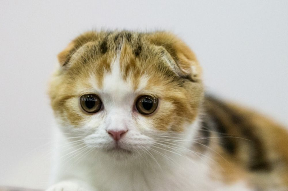 Лучшим взрослым котом был признан кот породы скоттиш-фолд, при том, что в выставке также участвовали и другие разновидности шотландских пород.
